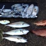 釣果:アオリイカにヒラマサにアコウ