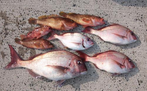 釣果:真鯛にアコウ他