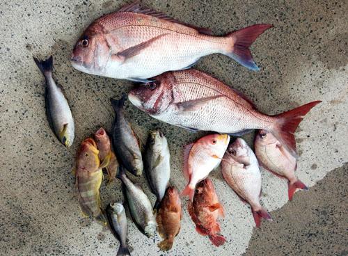 真鯛、イサキ他 釣果